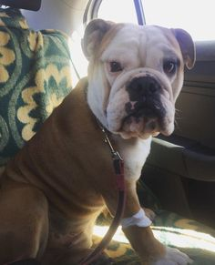 24 Reasons Why Your English Bulldog Stares at You - Dog Red Line English Bulldog Puppies, French Bulldog, English Bulldogs, Funny Dog Memes, Funny Dogs, Give Me Attention, Funny Feeling, Staring At You, Go Outside