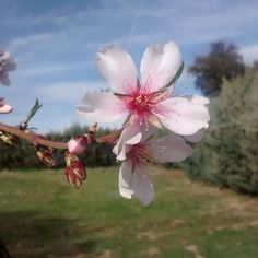 """#nature #naturaleza #flor #flores #flower #primavera #spring #almendro"""
