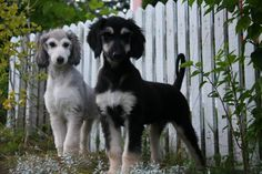 Hound Puppies, Hound Dog, Afghan Hound Puppy, Animals And Pets, Cute Animals, Spiritual Animal, Most Beautiful Dogs, Puppies And Kitties, Happy Dogs