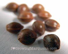 The Difference Between Regular, Feminized and Auto Flowering Marijuana Seeds -