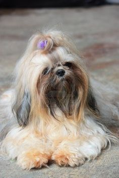 Lhasa Apso puppies,