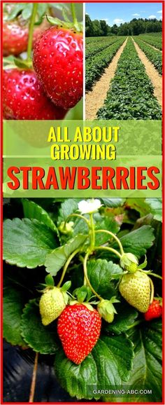 How To Grow Strawberry Plants: Here is What You Need To Know