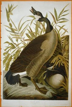 """Canada Goose: The Birds of America by John James Audubon. 4 vols. Pl. 492. London, 1827-1838, (Elephant Folio), From the John James Audubon """"Bird's in America Collection"""" in the Rare Book and Special Collections Division at the Library of Congress. For the full work see:  http://hdl.loc.gov/loc.pnp/cph.3b52400"""