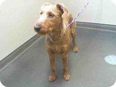 Las Vegas, NV - Irish Terrier. Meet ARYA, a dog for adoption. http://www.adoptapet.com/pet/13011688-las-vegas-nevada-irish-terrier