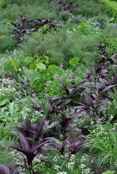 Persian Shield drifts across groups of Bronze Fennel in the West Bed at Chanticleer House.