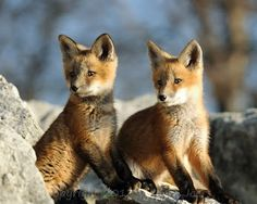 Red Fox Cubs by William Joers