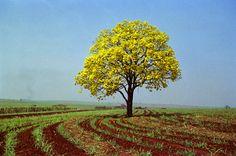 Melhores Fotos de Ipês Amarelos: Lindas Imagens da Árvore Florida