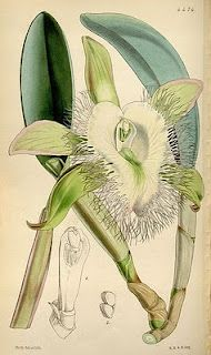 This genus was created from Brassavola by splitting off two species. The plants have Cattleya-like leaves and pseudobulbs. Flowers are creamy white. In their native habitat of Mexico, the Caribbean and Central America where they grow on trees. In cultivation they prefer humid conditions with healthy air circulation. Do not water excessively. Mount on cork slabs or tree branch mounts or grow in pots. Water with care as they resent excessive water around the roots. Grow in bright light (like…