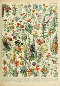 Flowers Poster, Larousse Adolphe Millot Fleurs Botany Illustration, Features A variety Of Flowers And Plants. Vintage Botanical Prints, Botanical Drawings, Botanical Art, Vintage Prints, Botanical Posters, Vintage Botanical Illustration, Antique Prints, Illustration Botanique, Illustration Art
