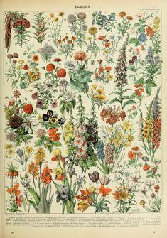 Adolphe_Millot_fleurs_A.jpg (2530×3602)