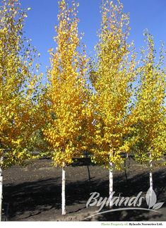 columnar ginkgo tree - these are beautiful and as a group would be stunning. Landscape Trees, Columnar Trees, Garden Trees, Plants, Backyard Garden, Deciduous Trees, Skinny Tree, Ginko Tree, Tall Skinny Trees