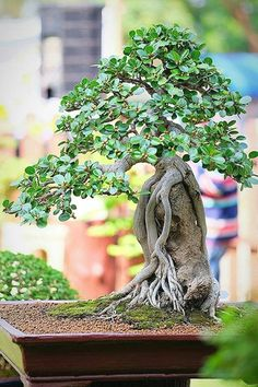 Learn 7 Great Ways to Care for Your New Bonsai Tree Bonsai Ficus, Bonsai Pruning, Bonsai Art, Bonsai Plants, Bonsai Garden, Garden Plants, Bonsai Tree Care, Bonsai Tree Types, Indoor Bonsai Tree