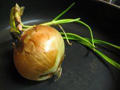 Cebola (Allium cepa): Descrição, Cultivo, Uso Culinário