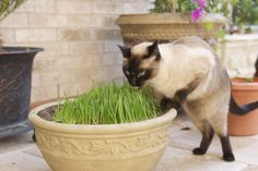 Because it's grown indoors, cat grass can be served year-round at its peak of freshness to assist your cat with furball elimination by providing valuable fiber. Photo by: Noah Green Cat Care Tips, Pet Care, Pet Tips, Crazy Cat Lady, Crazy Cats, Siamese Cats, Cats And Kittens, I Love Cats, Cute Cats
