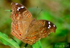 Brown Pansy-Brown Commodore Butterfly found in Marloth Park, South Africa