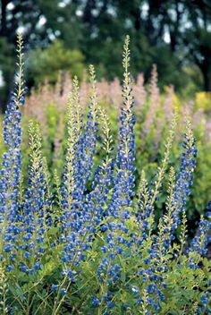 Baptisia 'Midnight' Prairieblues. Another awesome perennial bred by the experts at the Chicago Botanic Garden!