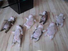Bulldog puppies slumber party..