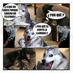 New Memes Divertidos Cristianos Ideas Funny Husky Meme, Dog Quotes Funny, Funny Animal Memes, Funny Dogs, Funny Animals, Funny Memes, Hilarious, Funny Puppies, Husky Quotes