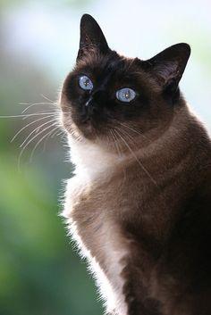 """Applehead"" Siamese Cat by red R, via Flickr"
