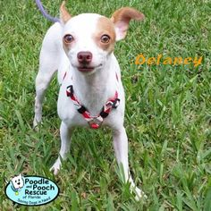 Delaney is a 2-year-old, 7-pound Chihuahua girl.  Poodle and Pooch Rescue - Adoptable Dogs - www.pprfl.org