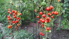 Growing Tomatoes - Not Foliage - Five Tips - EverybodyLovesIta. Growing Tomatoes - Not Foliage - F Hydroponic Gardening, Hydroponics, Organic Gardening, Container Gardening, Gardening Tips, Tips For Growing Tomatoes, Growing Tomatoes In Containers, Grow Tomatoes, Garden Tomatoes
