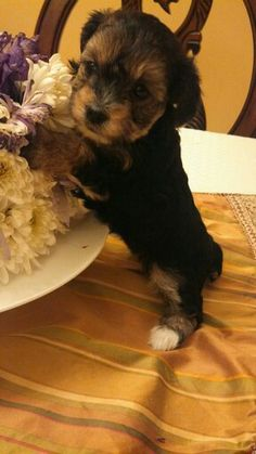 Yorkie/poodle mix