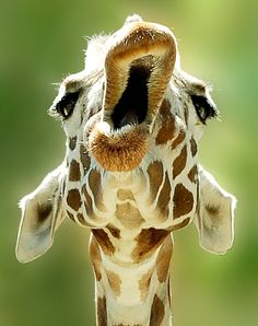 I wonder if this giraffe is yawning,about to take a bite,or maybe talking to a different giraffe.This giraffe is being funny.And I just thought that maybe this giraffe is laughing,but I do not know. Animals And Pets, Baby Animals, Funny Animals, Cute Animals, Wild Animals, Cute Creatures, Beautiful Creatures, Animals Beautiful, Happy Birthday Giraffe