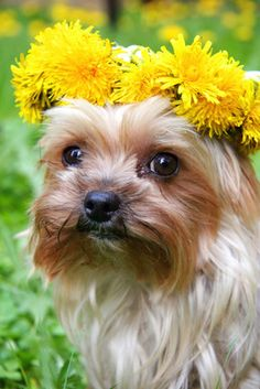 cute dog picture of a Yorkshire Terrier on Easter