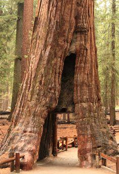 The California Tunnel Tree in the Mariposa Grove of Yosemite National Park, California • photo: Frank Kovalchek on Flickr