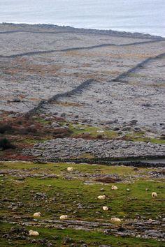 Sheep grazing in The Burren, Co. Clare, Ireland