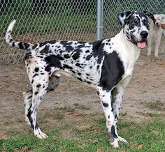 Harley is an adoptable Great Dane Dog in Onley, VA. Harley is about 3.5 years old. He is a Great Dane and is extremely lean, weighing 72 lbs. He will put on a few much needed pounds quickly though whi...