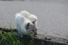 holgersbilderwelt.de posted a photo:  I'm not an expert, but I've heard cats with blue eyes are very rare. This animal ran me last summer at the Lago di Ledro in Italy at the end of a long hike ahead the camera. The cat was so focused that she did not even detect me, so I could take undisturbed this almost intimate picture. More pictures, not only of animals, can be found at www.holgersbilderwelt.de  Ich bin kein Experte, aber ich habe gehört, das Katzen mit blauen Augen sehr selten sind…