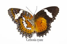 Leopard Lacewing Butterfly, Cethosia cyane, photograph by:  Darrell Gulin