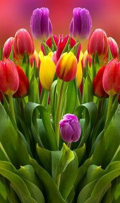 New flowers tulips favorite things ideas Tulips Flowers, Flowers Nature, Exotic Flowers, Amazing Flowers, Beautiful Roses, Fresh Flowers, Spring Flowers, Beautiful Flowers, Tulips Garden