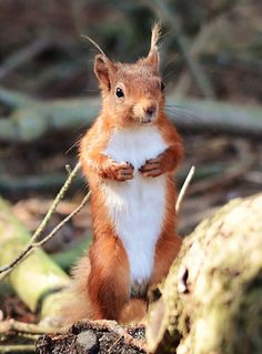 Red Squirrel | Flickr - Photo Sharing!