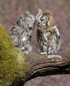 "A lovely tender moment between two Eastern Screech Owls photographed by ""Nature's Angle"""