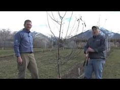 How to Prune Apple Trees - YouTube