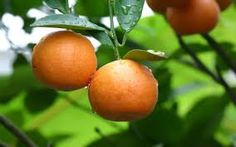 Image result for mandarins