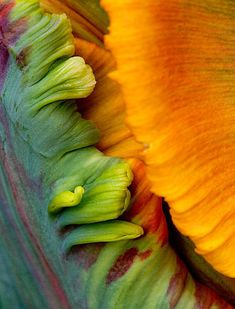 Parrot tulip flower 'blumex' by Clive Nichols, Flickr | http://www.clivenichols.co.uk/ #patterns and #textures #color