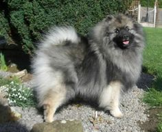 keeshond | Keeshond Dog Breed Puppies double coated..looks lime a lion..this breed was brought in after 911 to comfort the firemen