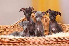 Iggy pups