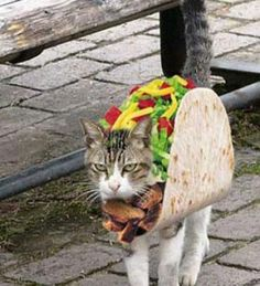 cat taco.. Chuck would attack me in my sleep if i dressed him like a Taco..