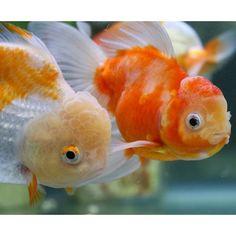 【goldfish_angel33】さんのInstagramをピンしています。 《couple❤️ Dad and mom of fry 今回の稚魚たちはこの夫婦からの子供である可能性が高いです ピーチ姫は、元々白黒オランダの青文系、旭君は桜東錦。 子供たちがどうなるのかほんとわからないです 稚魚たちは、鮒尾ではないことはわかりましたよ〜 #金魚 #水槽 #アクアリウム #goldfish #goldfishunion #goldfishtank #aquarium #goldfishofinstagram #watertank #goldfishlover #instagoldfish #goldfishinstagram #goldfishjunkie #fancygoldfish #goldfishcommunity #goldfishkeepers #fancygoldfishkeeping #goldfishes #桜東錦 #orandagoldfish》