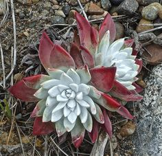 Dudleya farinosa (Bluff Lettuce) is a succulent plant, variable in appearance from drab to spectacular. It grows from a branching caudex. Growing Succulents, Succulents In Containers, Cacti And Succulents, Planting Succulents, Planting Flowers, Garden Plant Stand, Garden Plants, House Plants, Plant Stands