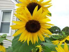 I love my sunflowersm