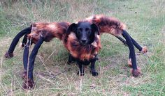 When this dog in a tarantula costume is unleashed on strangers, hilarity ensues! These peoples' reactions are priceless!