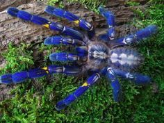 """BioTechniques - Tarantulas Tangled Up In Blue-  Unlike the structural colors of birds or butterflies, tarantulas produce non-iridescent colors that maintain their hue when viewed from any angle. Understanding how tarantula nanostructures produce color could replace energy-intensive LCD technology, since active backlight illumination would not be required. """"We think the tarantula could be key to addressing these problems, and we are using different nanofabrication technologies to replicate…"""