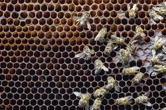 Court Sides with the Bees, Overturns EPA Approval of a Pesticide September 2015 Dead Bees, Network For Good, Environmental Issues, Dog Boarding, Amazing Spider, Nature Animals, Animal Rights, Pet Health, Habitats