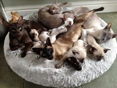 Siamese and Orientals - Happy families!
