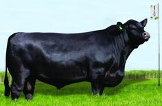 First - Aberdeen Angus